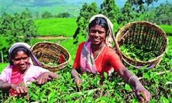 Что можно привезти из Шри-Ланки: закупаемся чаем, специями и эбеновыми слониками