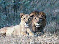 Охота на львов в Африке